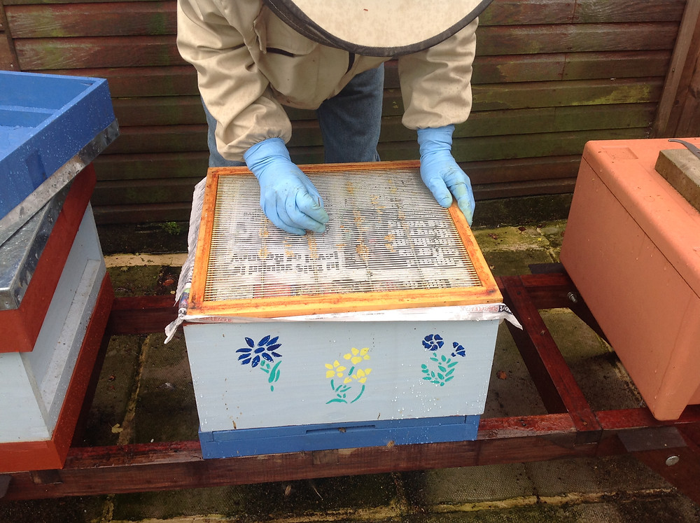 Pricking holes to give the bees a purchase point for chewing through