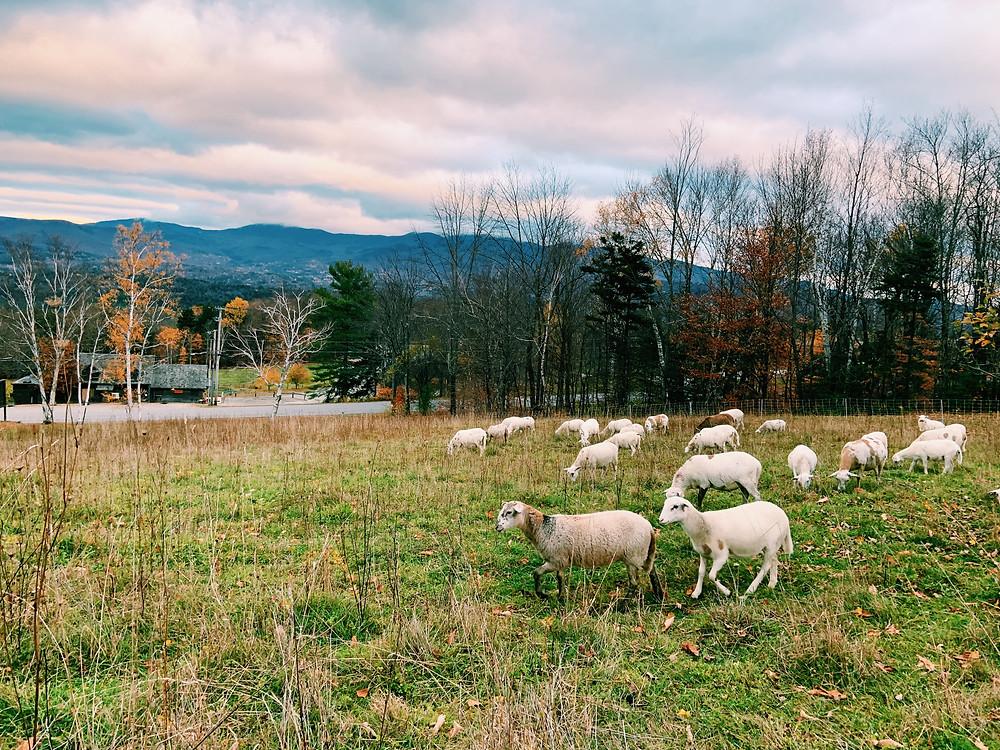 Von Trapp Family Lodge, Sheep