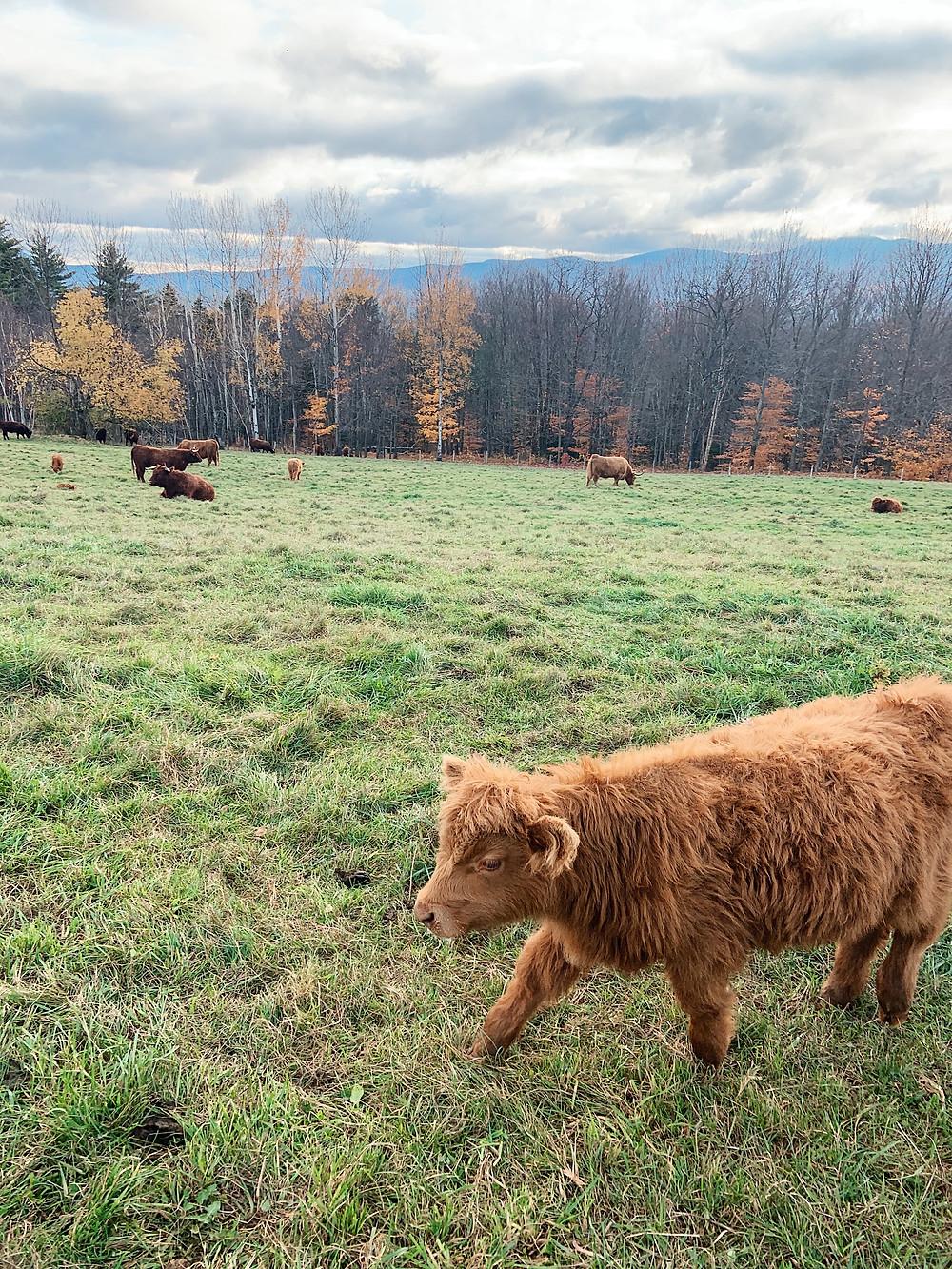 Von Trapp Family Lodge, Cows