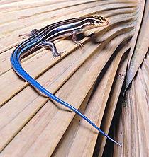 Plestiodon-fasciatus.jpg
