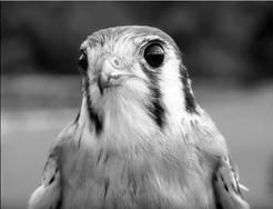Fun, Flight, and Falconry at Green Chimneys on June 3