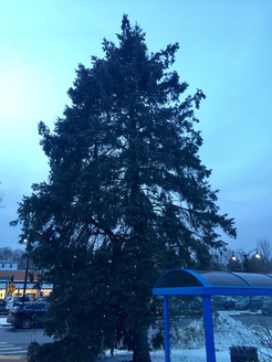 Pining for Answers - Debating the Future of the Village Christmas Tree