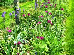 Allium: A Gardener's Best Friend