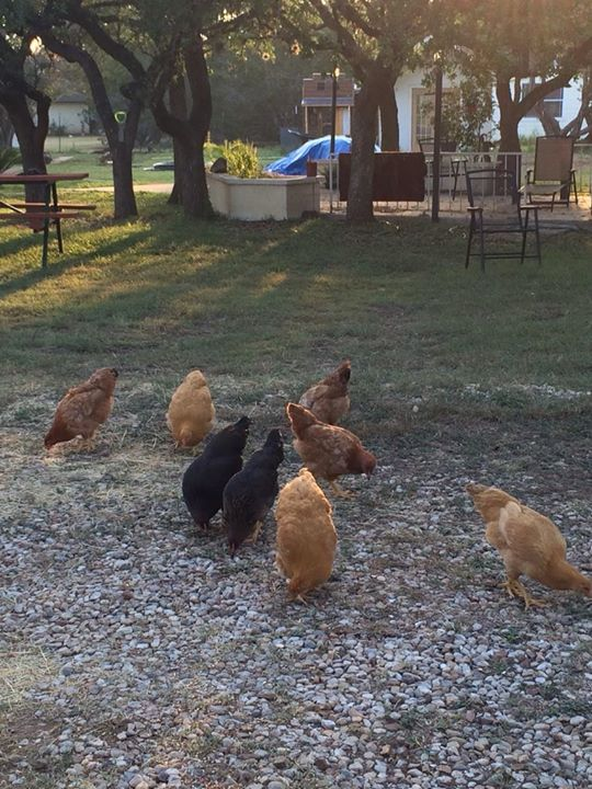 Breakfast with the chickens this morning.jpg What a beautiful morning in Texas