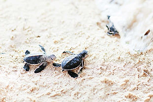 Baby-sea-turtles-Goa.jpg