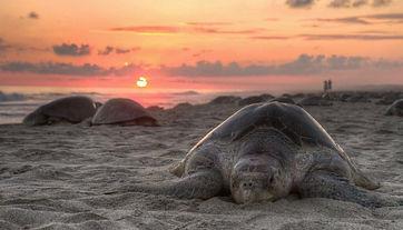 turtle-on-beach-in-galgibaga-goa.jpg