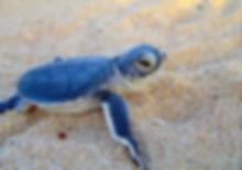 cute-baby-sea-turtle.jpg