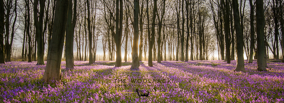 bluebell woods wide.png