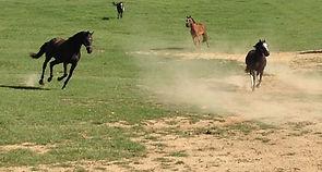 Horses running big field.jpg