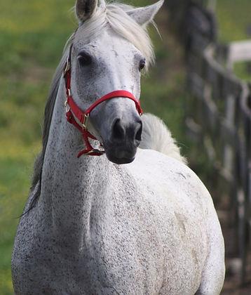 Arab Millhaven Horse Farm, Derwod, Md