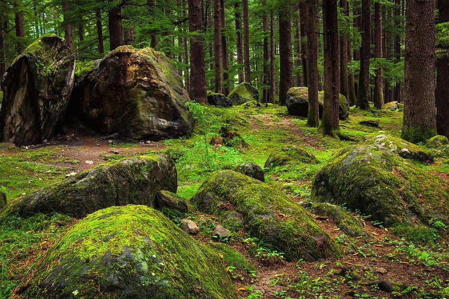 Pine Forest 2.jpg