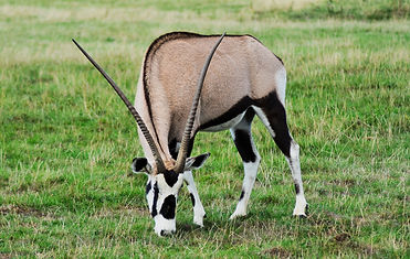 oryx-3801151_1920.jpg