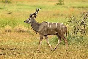 kudu-2808202_1920.jpg