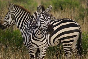 zebra-4721777_1920.jpg