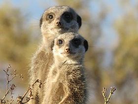 meerkat-255564_1920.jpg