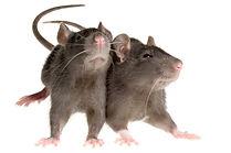 c1-rats-mct-jpg.jpg
