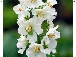 Verbascum White Bride.png