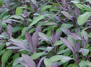 Purple Sage 2.png