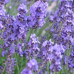 Old English Lavender.jpg