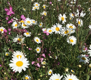 Ox eye daisy.jpg