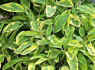 Golden Sage.jpg
