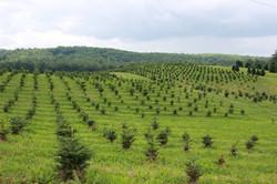 Tree Farm on Breedlove Road