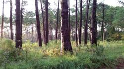 Sapelo Forest
