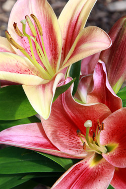 Daylily Pair