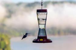 Humingbird at Breakfast