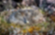 Good female COEI on nest - Version 2 (1)