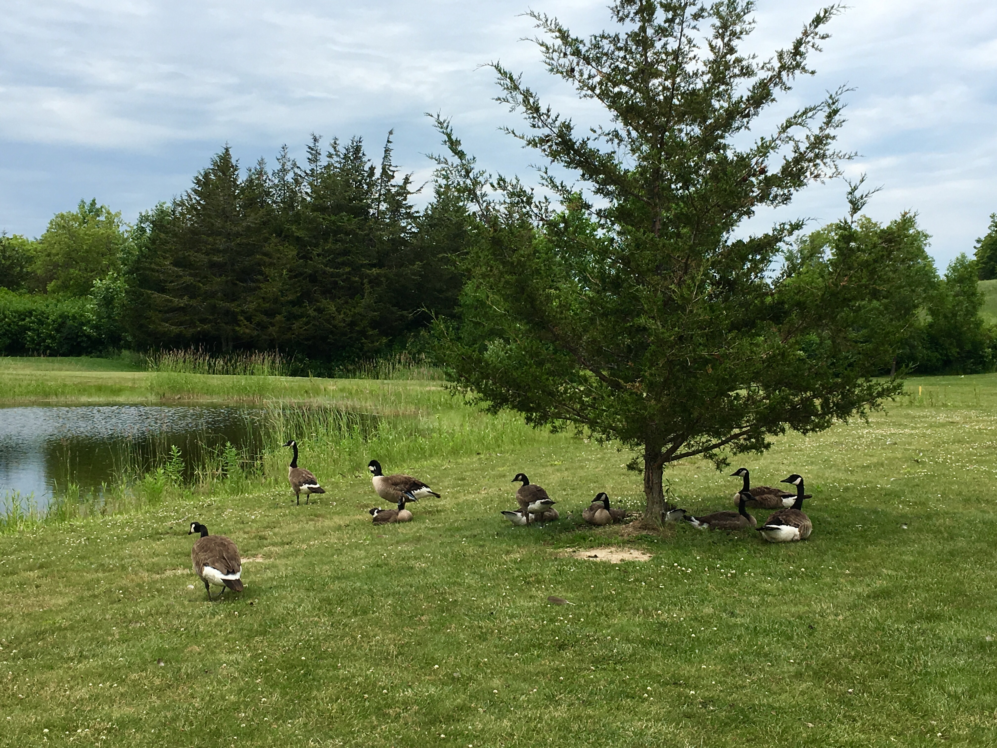 Geese at hole 6