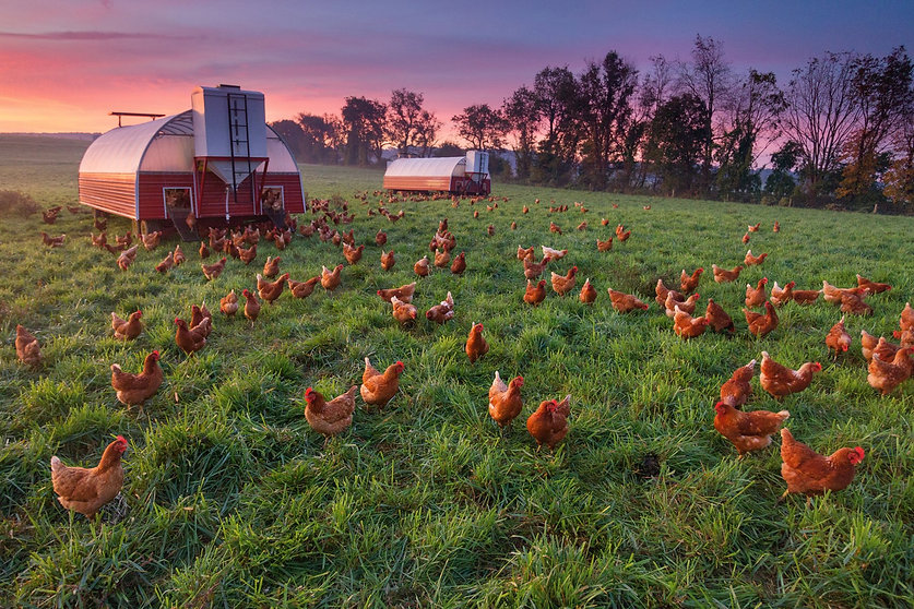 chickens-provide-fertilizer.jpg