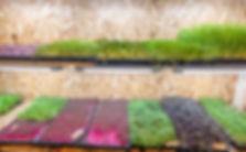 Mikrogrønt