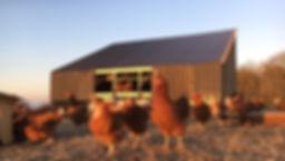 Æg fra høns i mobilt hønsehus.jpg