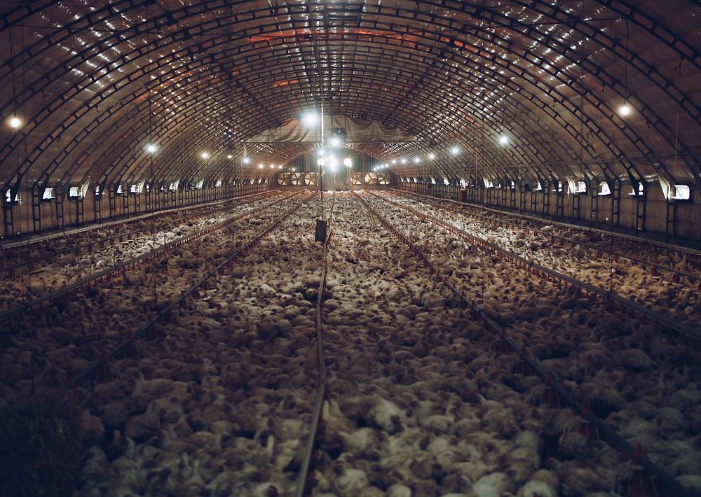 ecco come vivono i polli dell'industria alimentare