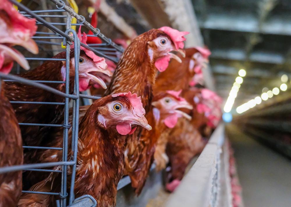 Allevamento di galline da uova secondo metodo intensivo