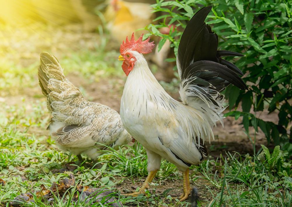 Allevamento di polli, galline e galli all'aperto