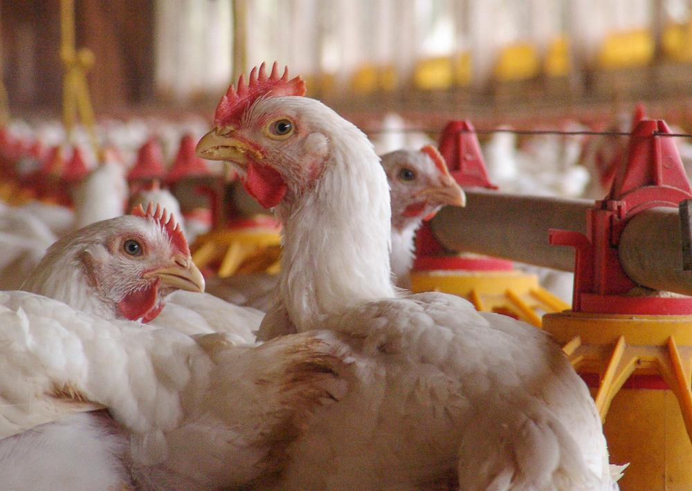 allevamento intensivo di polli broiler