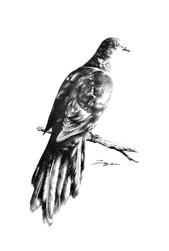 Dove Cuckoo