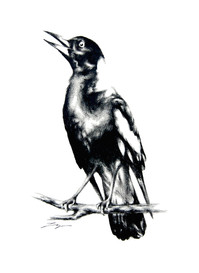 Magpie Warble