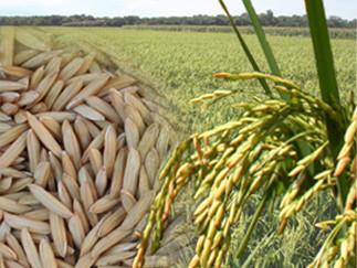 Federarroz orienta produtores a antecipar preparação da próxima safra