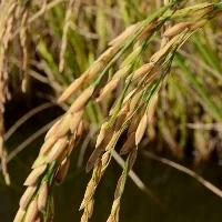 Países terão menos arroz