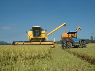Arroz: colheita atinge 3% da área no Rio Grande do Sul