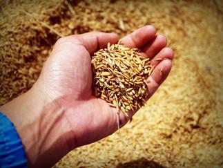 Farsul e Federarroz garantem abastecimento de arroz no Brasil