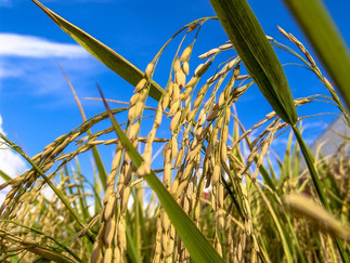 Mapa publica zoneamento agrícola do arroz de sequeiro e irrigado safra 2021/2022