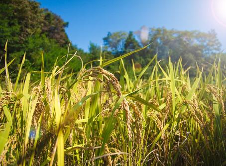 Importação de arroz em casca tem alta de 310% em setembro
