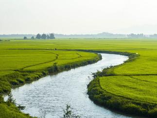 Plantio Arroz: Estima-se aumento entre 10 e 15% de área devido ao bom preço do produto