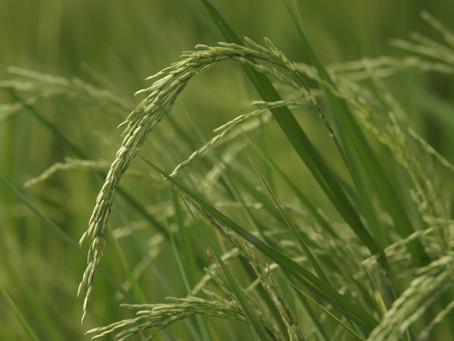 Governo zera imposto de importação para arroz até 31 de dezembro de 2020