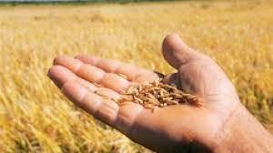 Safra de arroz no Uruguai deve totalizar 1,3 mi de toneladas em 2021/22