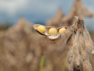 Preços da soja podem ser ainda maiores em 2021, prevê analista